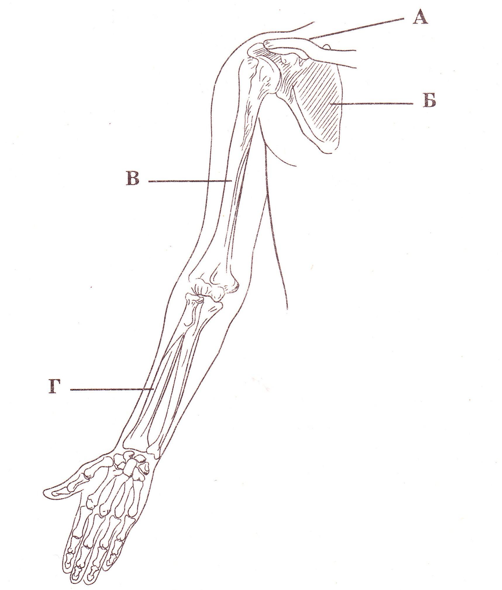 Кости верхней конечности картинки с подписями