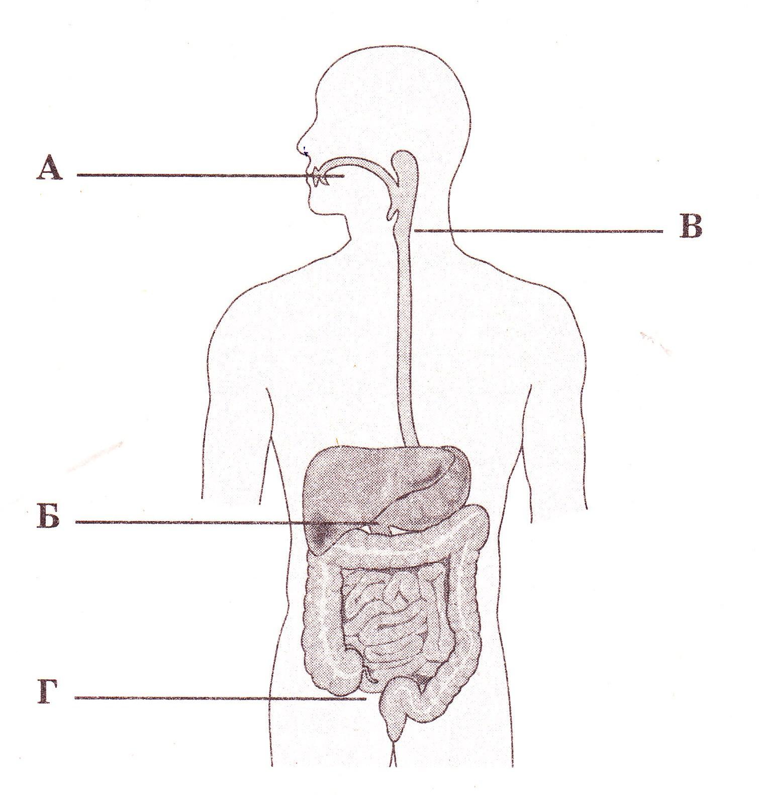Органы пищеварения картинки